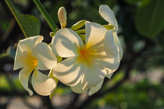 Plumeria in the morning sunlight Stock Images