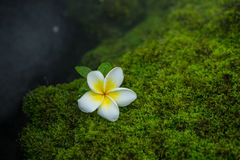 Plumeria On moss Stock Photos