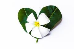 Plumeria na folha do coração Fotografia de Stock