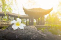 Plumeria na folha morna e bonita da rocha Imagens de Stock Royalty Free