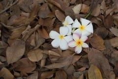 Plumeria na folha seca Imagem de Stock