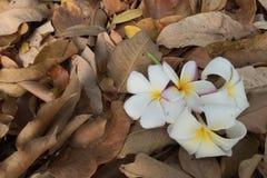 Plumeria na folha seca Fotos de Stock