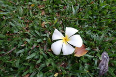 Plumeria na grama verde Imagens de Stock Royalty Free
