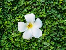 Plumeria na małej roślinie Obrazy Royalty Free