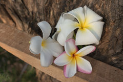 Plumeria na madeira Fotos de Stock Royalty Free