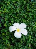 Plumeria na planta verde Imagens de Stock Royalty Free