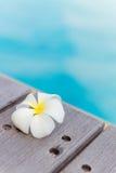 Plumeria nahe Swimmingpool Lizenzfreie Stockfotografie