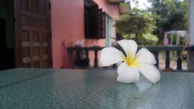 Plumeria. Nany colors.the national flower of laos Stock Image