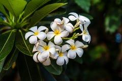 Plumeria on natural. Light background Stock Images