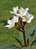 Plumeria1. Plumeria  Nerium oleander Frangipani Flower white Garden Beautiful vibrant contrast Stock Photo