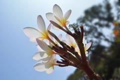 Plumeria2 Stock Photography