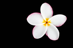Plumeria no fundo preto Fotos de Stock Royalty Free