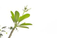 Plumeria o árbol de templo fotos de archivo libres de regalías