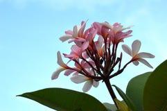 Plumeria o fiore del frangipane (sp. di plumeria) Immagini Stock Libere da Diritti