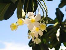 Plumeria o frangipani Fotografía de archivo