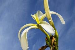 Plumeria Obtusa ή Plumeria Tuberculata ή Plumeria Stenopetala Στοκ Φωτογραφίες
