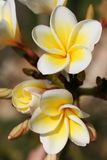 Plumeria obtusa. Beautiful frangipanis or plumeria in a natural environment Royalty Free Stock Photography