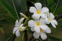 Plumeria obtusa zdjęcia royalty free