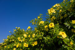 Plumeria obtusa blossom with blue sky Royalty Free Stock Image