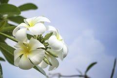 Plumeria oder Frangipani Lizenzfreie Stockfotografie