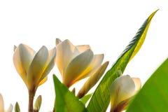 Plumeria oder Frangipani Lizenzfreie Stockfotos