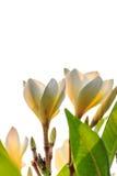 Plumeria oder Frangipani blüht Stockbilder