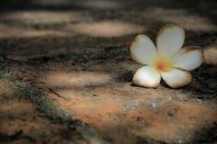 Plumeria- oder Frangipaniblumen Stockfotos