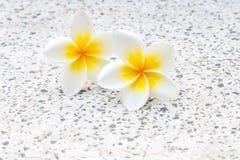 Plumeria- oder frangipanniblüte Stockfotos