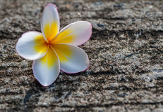 Plumeria op de concrete oppervlakte royalty-vrije stock foto