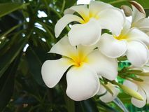 Plumeria op de plumeriaboom Royalty-vrije Stock Foto's