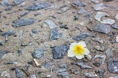 Plumeria op de vloer Stock Foto
