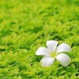 Plumeria op Gazon Stock Afbeeldingen