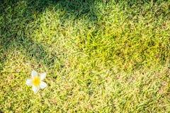 Plumeria op groen gras Plumeriabloem op groen gras stock fotografie