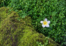 Plumeria op mos Stock Fotografie