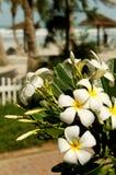 Plumeria op tropisch strand Royalty-vrije Stock Foto's