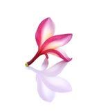 Plumeria op witte achtergrond Royalty-vrije Stock Fotografie