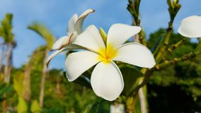 White and yellow Frangipani in Wilderness of Thailand found on koh Lanta. Plumeria an oriental beauty flower growing in neotropis Asia Indonesia Hawaii and many royalty free stock photo