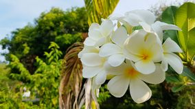 White and yellow Frangipani in Wilderness of Thailand found on koh Lanta. Plumeria an oriental beauty flower growing in neotropis Asia Indonesia Hawaii and many stock image