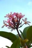 Plumeria ou fleur de Frangipani (espèces de Plumeria) Photographie stock libre de droits