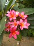 Plumeria ou frangipani Photo stock