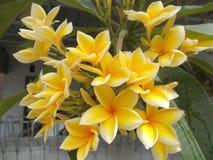 Plumeria ou frangipani Foto de Stock
