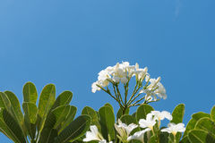 Plumeria på bakgrund för blå himmel Arkivbild