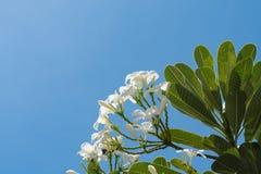 Plumeria på bakgrund för blå himmel Arkivfoton