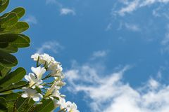 Plumeria på bakgrund för blå himmel Royaltyfria Bilder