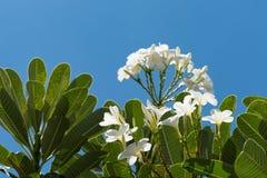Plumeria på bakgrund för blå himmel Royaltyfria Foton