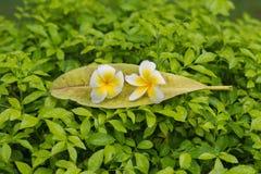 Plumeria på sidor i grön buske Royaltyfria Bilder