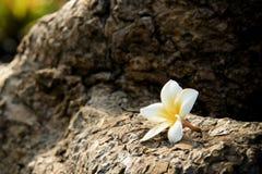 Plumeria på stenen Royaltyfri Fotografi
