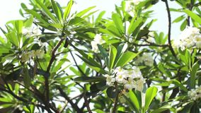 Plumeria, Pagoda Tree Royalty Free Stock Photo