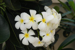 Plumeria. Panicle and green leaves Royalty Free Stock Photography
