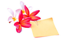 Plumeria with paper note. Colorful flowers with blank paper note isolated on white Stock Photo